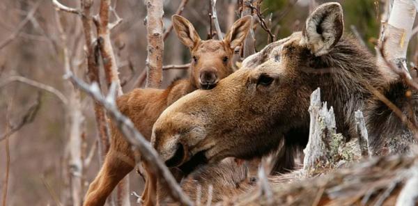 Браконьеры застрелили беременную лосиху в Ленинградской области