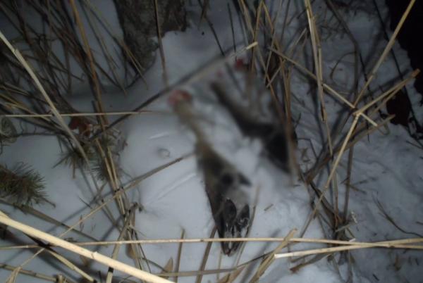 Охотник убил лося, но этот поступок не останется безнаказанным