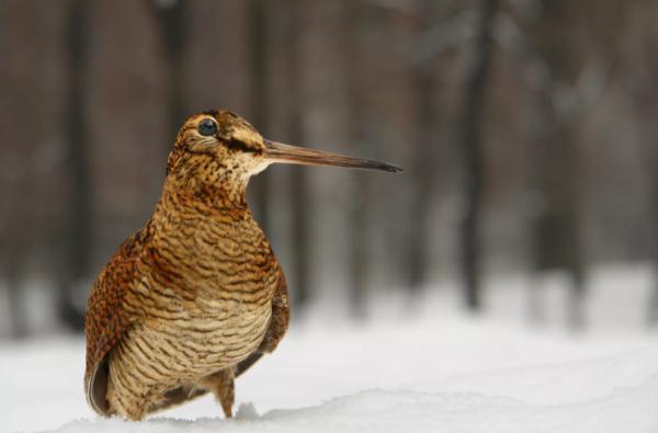 Сроки весенней охоты в Липецкой области вынуждены перенести