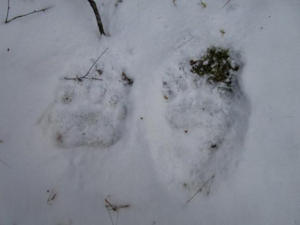 В Березинском заповеднике медведи вышли из спячки