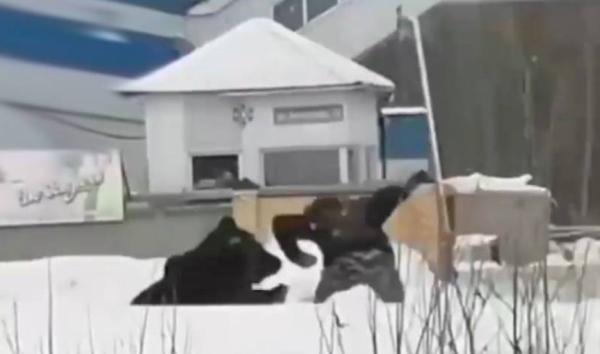 В Нижневартовске медведица стала нападать на жителей города