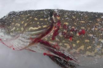 В Сызрани в Волге живет больная рыба