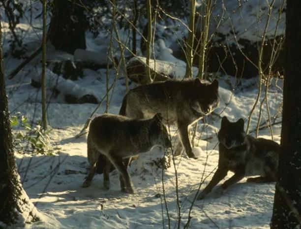 Волков охотники будут добывать вплоть до 31 марта