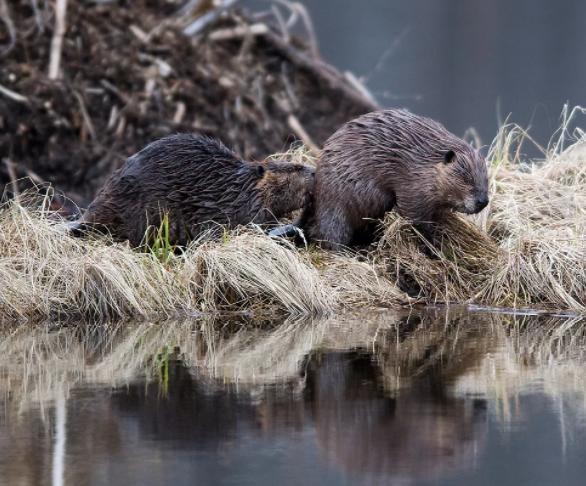 Охота на бобров в Пензенской области организована неизвестным