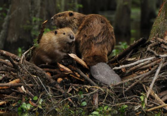 Охотник убил бобра и теперь может лишиться права охоты