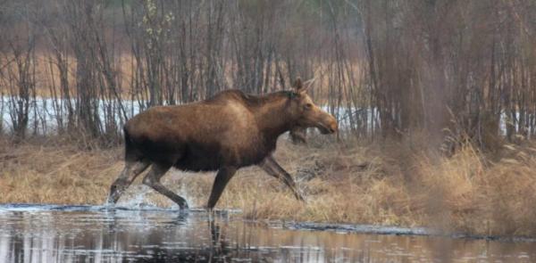 Смоленские охотники массово убивают лосей