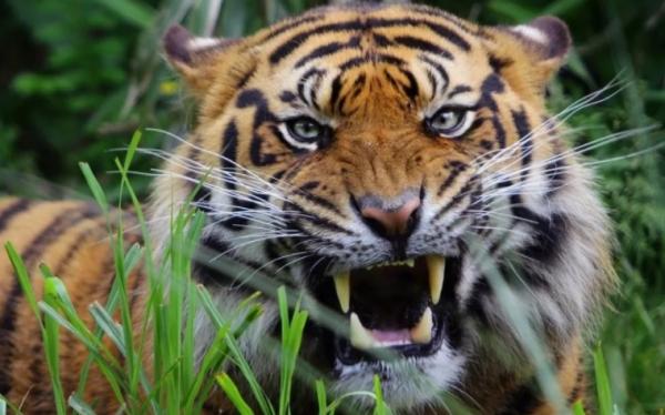 Тигр вышел навстречу охотинспекторам. Что же произошло дальше?