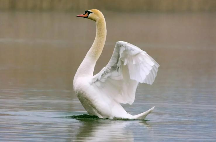 Браконьеры в Перми открыли охоту на краснокнижных лебедей