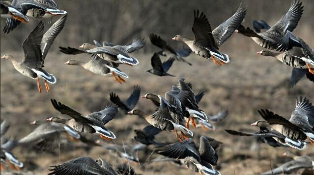 Охотник сделал фото на фоне сотен убитых диких гусей