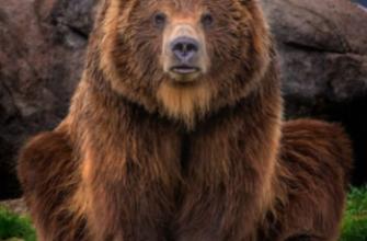 Медведя, который выходил к людям, уже ликвидировали