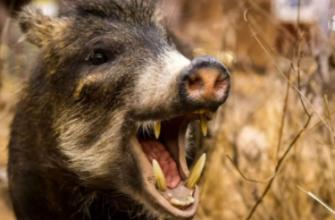 На охоту на диких кабанов с 1 июля