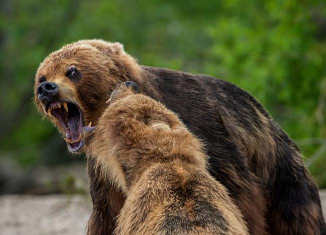 Охотники Томской области в поисках медведей – бродяг