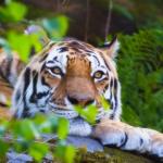 Охоту на амурского тигра устроят в Приморском крае