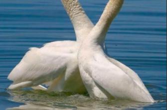 Планируется охота на лебедей в Курганской области
