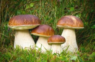 Пришла пора собирать белые грибы