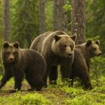Томские медведи пугают местных жителей