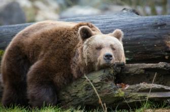 Охота на медведя в Мурманской области стартует в скором времени