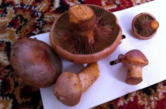 Розовые грибы – редкая находка для новосибирских лесов
