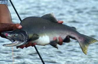 Рыбалка для мурманчан на горбушу будет свободной