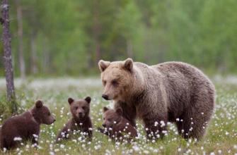Медведи целыми семьями выходят к людям