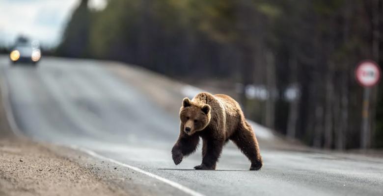 Якутские медведи бегут от лесных пожаров поближе к людям