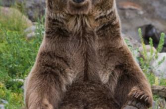 Медведь вышел на охоту неподалеку от сельского поселения