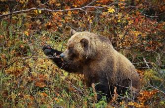Охота на медведя может обернуться уголовной ответственностью