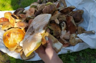 Грибники в Гордеевском районе собирают грибы большими объемами