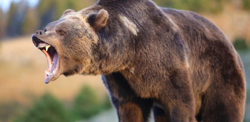 Медведь нападает на домашний скот на Кузбассе